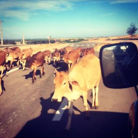 Cows in Mui Ne, Vietnam